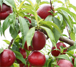 Fantasia Nectarine Trees - Wholesale