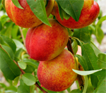 Goldmine Nectarine Trees - Wholesale