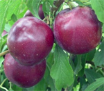 Billington Plum Trees - Wholesale
