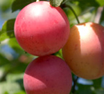 Burbank Plum Trees - Wholesale