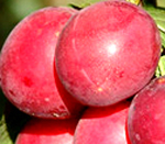 Omega Plum Trees - Wholesale