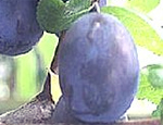 Purple King Plum Trees - Wholesale