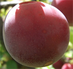 Red Doris Plum Trees - Wholesale