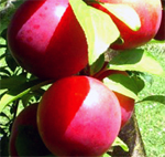 Wilsons Early Plum Trees - Wholesale